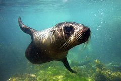 Imagen Seal Swimming Tour from Kaikoura