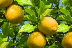 Lemon walking tour Experience