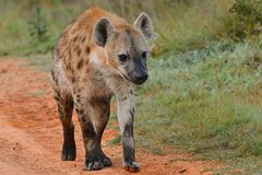 A Ol Pejeta 3 Day Safari And A Trip To Ngare Ndare Forest Reserve Mid Range