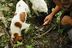 Private Truffle Hunting Experience from Florence or Siena