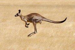 Imagen Les koalas et les kangourous dans l'excursion à la découverte des animaux au départ de Melbourne