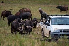 Cape Buffalo Experience