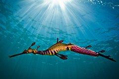Imagen Port Phillip Bay Snorkeling with Sea Dragons