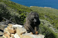 Cape of Good Hope and Penguin Group Tour