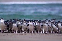 Imagen Premium Penguin Express Tour from Melbourne
