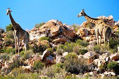 Cape Town Private Inverdoorn Safari Tour