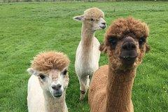 Alpaca Meet and Feed Experience