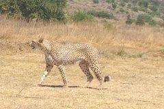Cheetah De Wildt Tour