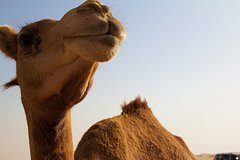 One Hump Camel Farm and Wine Tour