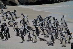Cape Peninsula and Penguin at Boulders Beach Full Day Tour