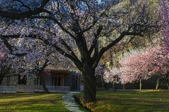 Cherry Blossom Tour -Hunza Valley