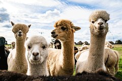 Visit the Alpaca farm near Florence + lunch