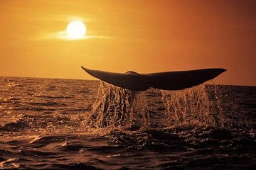 Whale Watching Tour from Cape Town
