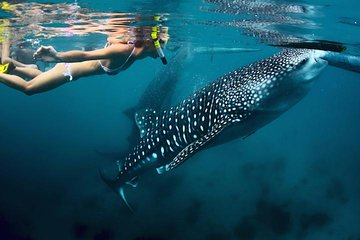 Whale-Shark Snorkeling Excursion to La Paz