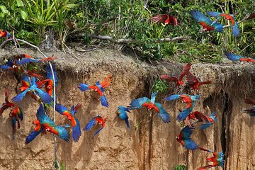 Macaw Clay Lick 4 dager og 3 netter