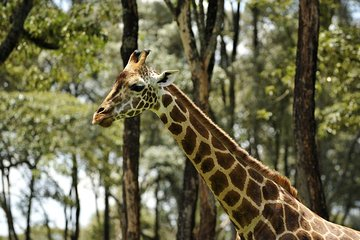 Day-Trip to Giraffe Center, Sheldrick Elephant Trust and Bomas of Kenya