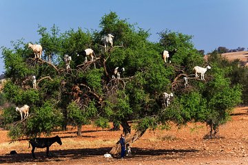 Private Day Trip to Essaouira and Argan Forest from Marrakech