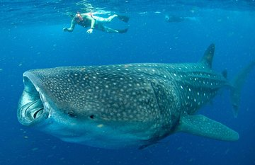 Small-Group Eco Friendly: Whale Sharks tour in Cancun & Riviera Maya