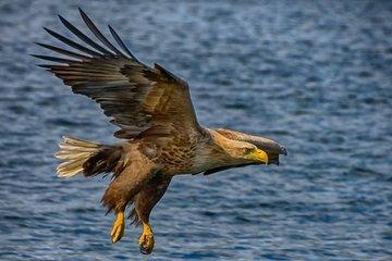 White-Tail Eagle Safari ved Zodiac...