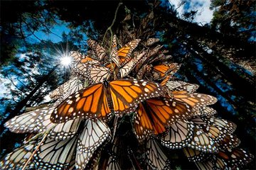 Save 5.00%! MONARCH BUTTERFLY SANCTUARY AND COSMOVITRAL PRIVATE TOUR from Mexico City