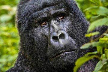 Safari gorille et faune 5 jours en...