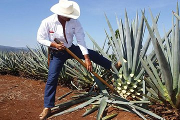 Tequila experience: Jose Cuervo Distillery & Tequila Town Tour from Guadalajara