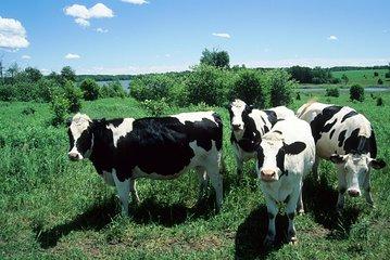 Cow Heaven: En VoiceMap Driving Audio...