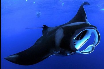 Snorkeling with Manta Rays on the Big Island of Hawaii