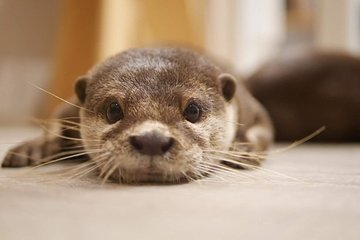 Harry Harajuku: Meet with Cute Otters, Chinchillas and Hedgehogs