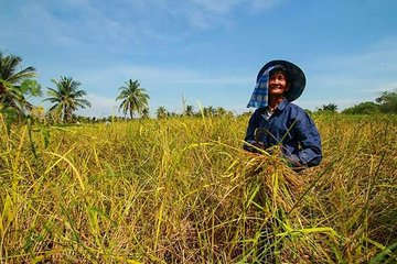Rice Paddies Experience Led by Farmers with Rice Tasting and Dessert Workshop