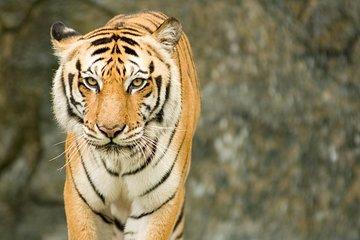 Taj and Tigers