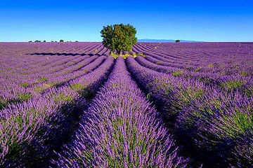 Lavender fields Valensole + Verdon Canyon