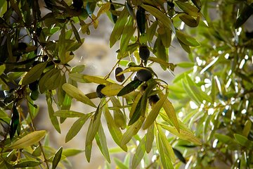 Olive Oil Production & Plantation Tour with Tasting