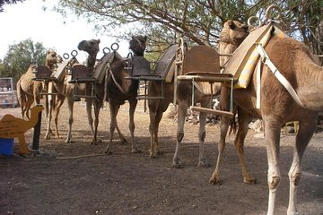 Skip the Line: Camel Park Tenerife Ticket