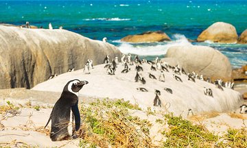 Hang Out with African Penguins