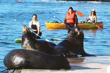 2-Hour Kayak or Paddleboard with Sea Lions in Marina del Rey