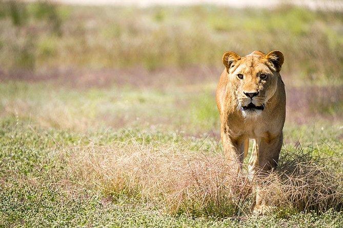 Lions at Bedtime and a Day at Monarto Safari Park