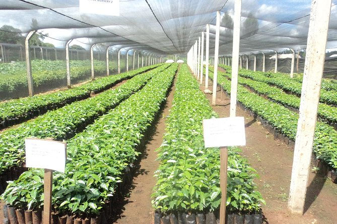 3-Day Local Tea and Coffee Farming Experience in Kenya