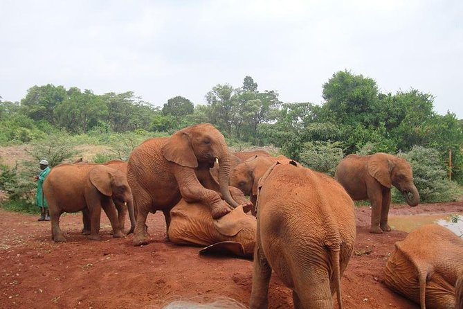 Elephants Orphanage Tour From Nairobi with Optional Giraffe Centre