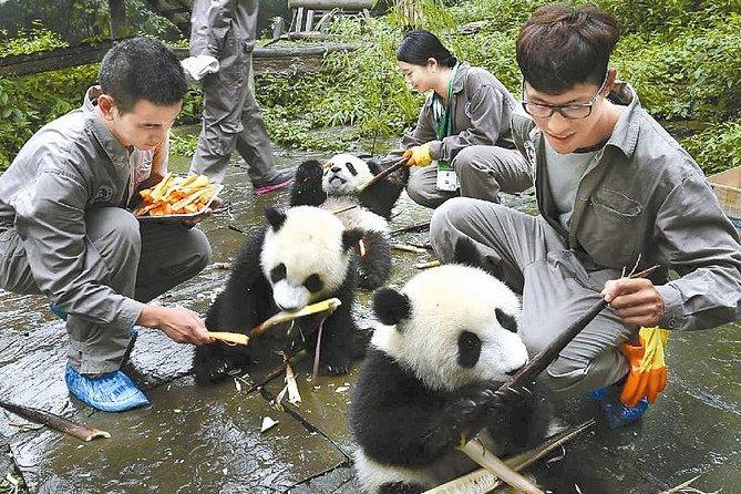 Full-Day Volunteer Experience at Dujiangyan Panda Base