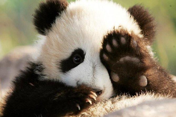 Half Day Chengdu Private Panda Tour