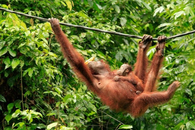 Full-Day Orangutan Rehabilitation Centre and City Tour in Sandakan