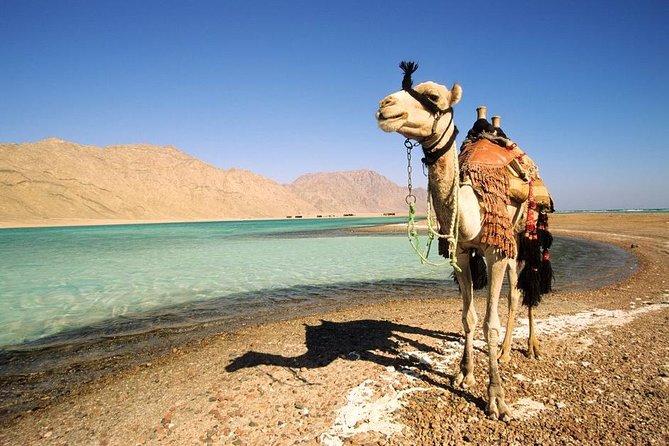 1-Hour Camel Safari to Blue Lagoon Beach from Dahab