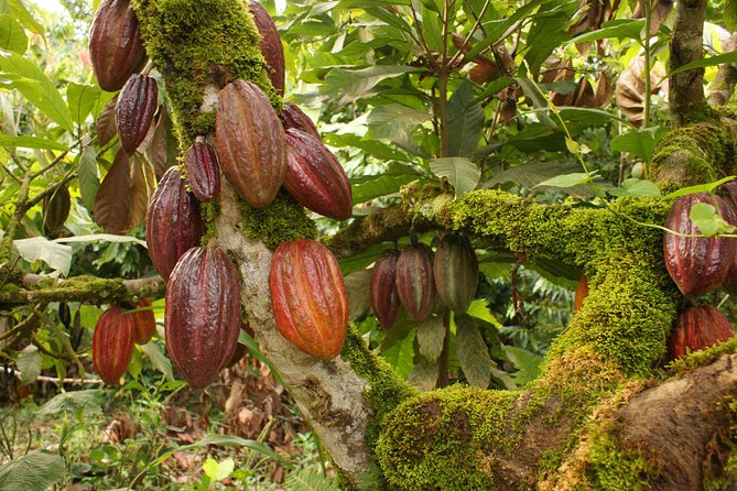 Cacao Private Tour