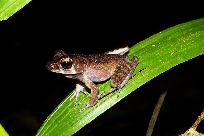 Night Frogs Tour at Kubah National Park