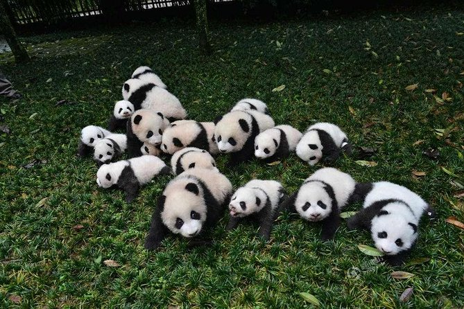 One day as Volunteer: Big Panda in Sichuan from Chengdu