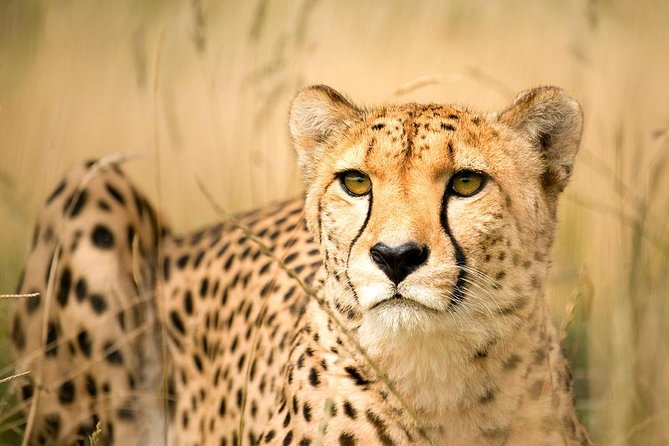 Cheetah and Penguin colony and wine tour via the Whale Route - Private Tour