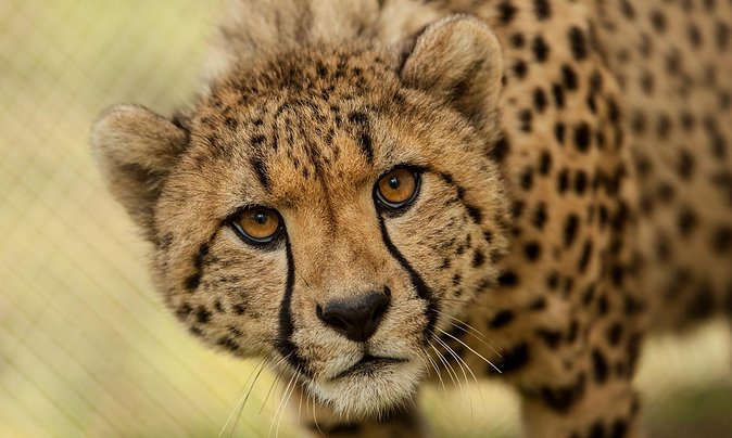 Cheetah outreach Somerset West Private Tour