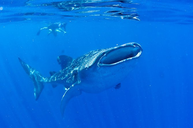 Swim with Whale Sharks from Playa del Carmen photo 2