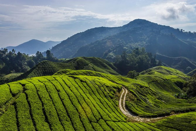 Cameron Highland Tour + Mossy Forest Trekking - 1 Day